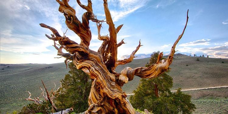 arboles Bristlecone Pines vivir en Nevada